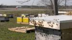 Honey bees and hives at Innisfil Creek Honey Beekeeping in Innisfil, Ont. Thurs. April 8, 2021 (Kraig Krause/CTV News)