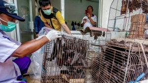 In this March 14, 2020 file photo, health officials inspect bats to be confiscated and culled in the wake of coronavirus outbreak at a live animal market in Solo, Central Java, Indonesia. The WHO on Tuesday urged countries to suspend the sale of live animals captured from the wild in food markets as an emergency measure, saying wild animals are a leading source of emerging infectious diseases like the coronavirus. (AP Photo, File)