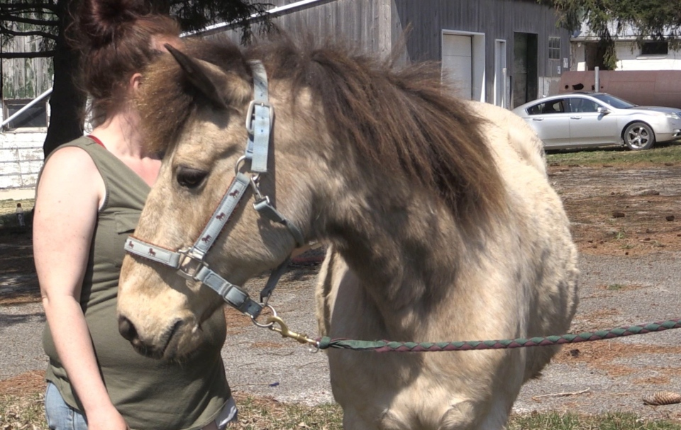 Rare Newfoundland Pony being care for at Behind the Bit