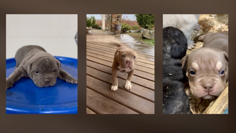 Mounties in Surrey say three young puppies were taken from a home on April 10, 2021. (Surrey RCMP/Twitter)