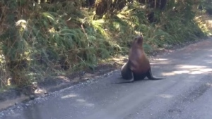 Vancouver Island man Greg Clarke ran into the sea lion along a logging road near Holberg in North Vancouver Island: (Greg Clarke)