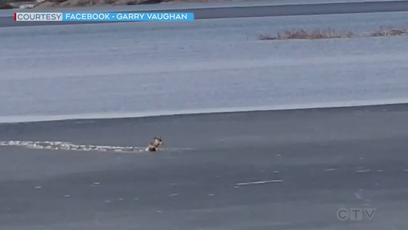 Happy ending: Watch a deer persevere through thin ice as it makes its way to the shore of a northern Ontario lake. (Source: Garry Vaughan)