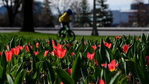 Tulips bloom in Ottawa on Tuesday, April 13, 2021. (Sean Kilpatrick/THE CANADIAN PRESS)