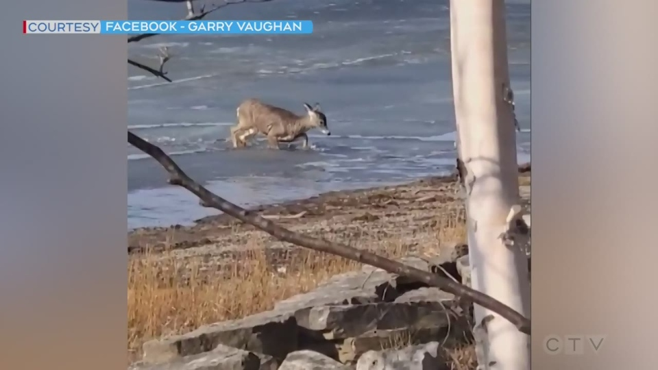 Deer crosses semi-frozen lake in northern Ont.