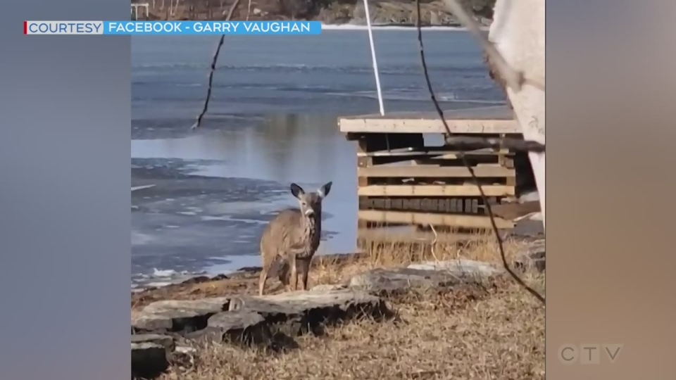 Deer makes it out of Lake Huron