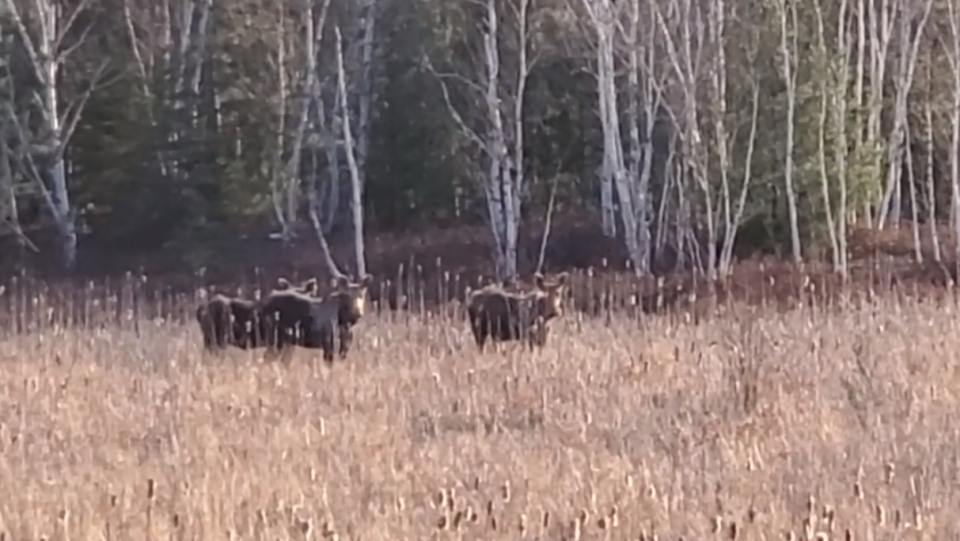 Three moose standing in a swampy area off a northern Ontario highway. April 8/21 (Garry Vaughan)