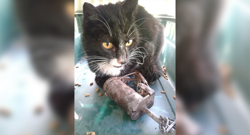 'Bubba Gumption' is seen with his paw caught in a trap. (Source: Windsor/Essex County Humane Society)