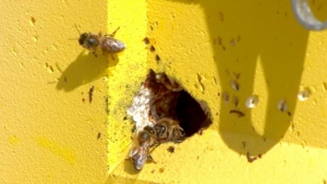 The Alberta BeeKeepers Commission says import delays are significantly reducing hive numbers and could majorly impact the production of honey and canola.