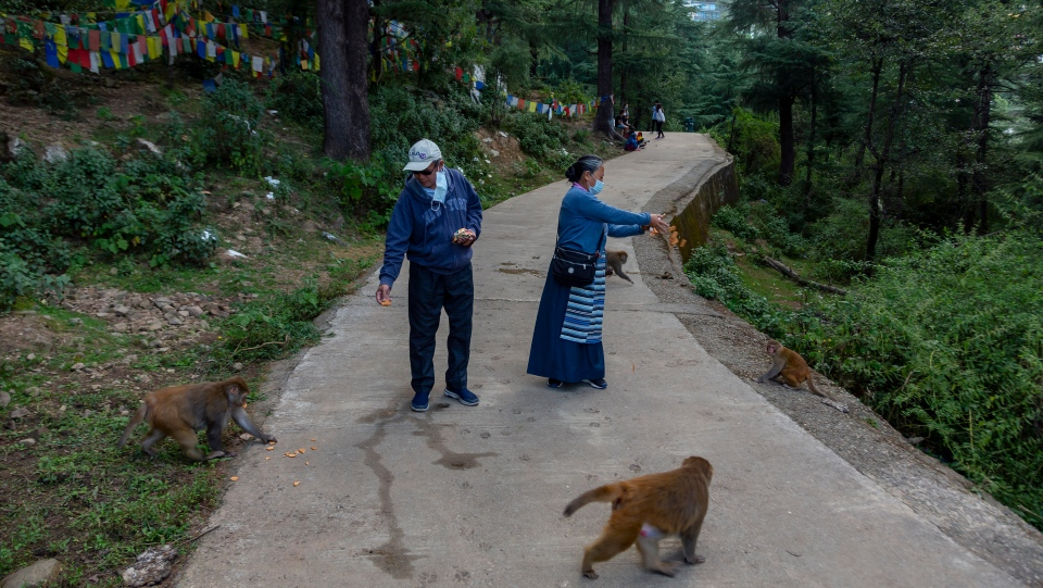 Exile Tibetans wearing masks as a precaution against the coronavirus feed macaques in Dharmsala, India, Sunday, Sept. 27, 2020. (AP Photo/Ashwini Bhatia)