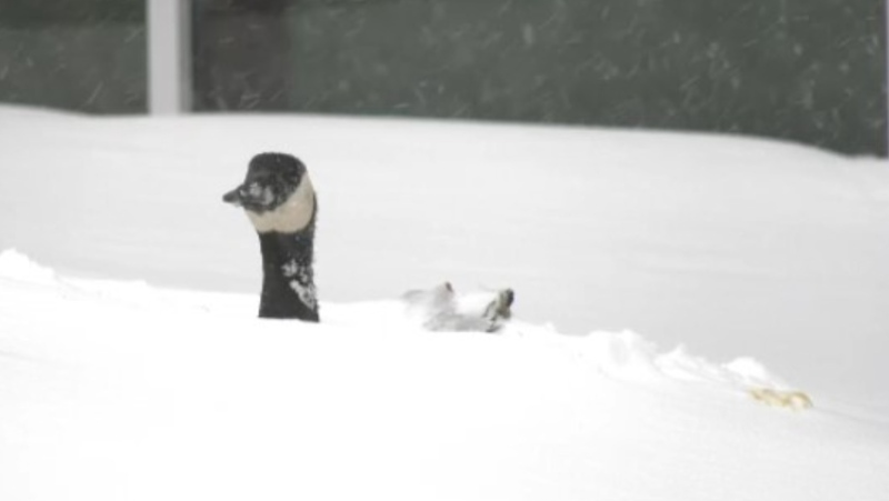 Images show geese with snow all the way up their necks after parts of Manitoba received up to 25 centimetres of snow.
