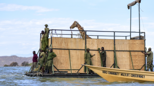 Endangered giraffes rescued from Kenyan island