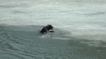 A black lab jumped into the North Saskatchewan River Wednesday afternoon, he managed to pull himself out of the water. Three other dogs fell into the river Wednesday. April 14, 2021. (CTV News Edmonton)