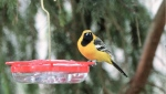 A hooded oriole seen at bird feeder in Sidney, B.C. in February 2021. (Stan Coe)