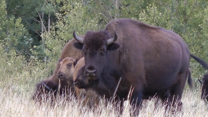Canada has fewer free-roaming plains bison than wood bison, according to the Canadian Parks and Wilderness Society of Saskatchewan. Only four herds of wild plains bison exist in the country. (Parks Canada/Submitted)