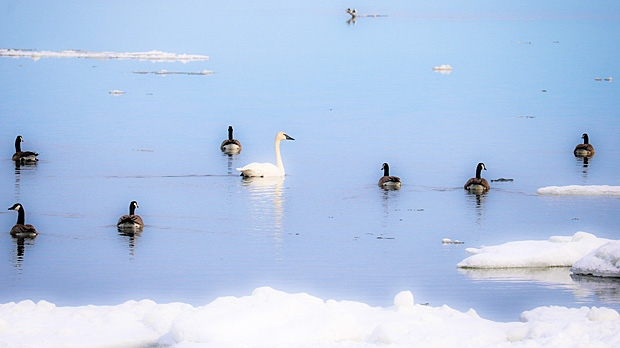 The lucky rare swan hanging and a whole lot of geese and other birds. Photo by Doris Ballantyne.