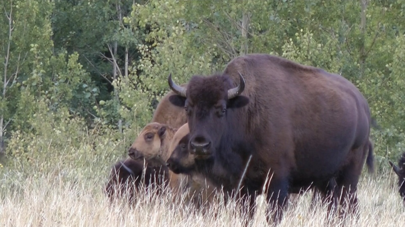 Bright future for Sask. bison