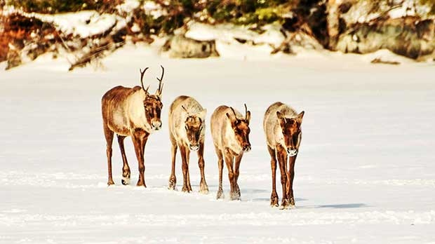 Caribou on Knee Lake Manitoba. Photo by Wayne Boychuk.