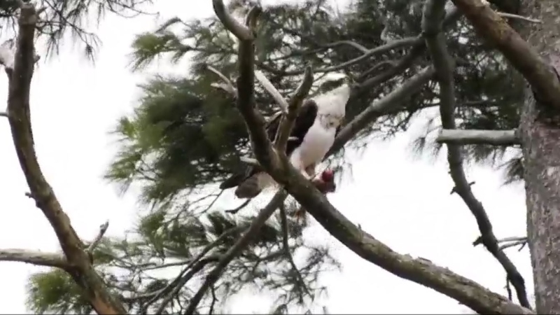 The hope was they would move to the relocated nest a few hundred metres away, but that hasn't happened and now residents and wildlife experts say it might be time to move the nest back.