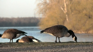 Patrolling for geese in Lasalle