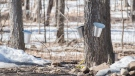 A bucket for collecting Maple water is shown on the grounds of the Sucrerie de la Montagne sugar shack in Rigaud, Que., west of Montreal, Saturday, April 4, 2020 THE CANADIAN PRESS/Graham Hughes