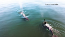 Pod of killer whales spotted on Sunshine Coast