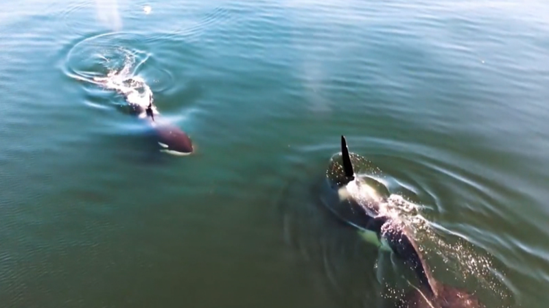 A still image from drone video shows orcas off B.C.'s Sunshine Coast. (Anna Baker)