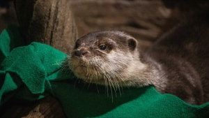 The Georgia Aquarium says it tested its Asian small-clawed otters after they showed symptoms of COVID-19. (Georgia Aquarium/CNN)