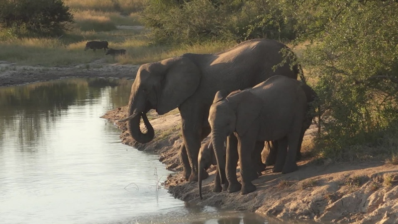 A suspected poacher was trampled to death by a herd of elephants in South Africa's Kruger National Park on April 17, according to a statement by South African National Parks. (CNN)