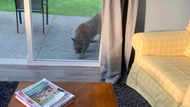 A cougar is seen peering into a Fanny Bay, Vancouver Island home on Monday morning: (Cathy Maciver)