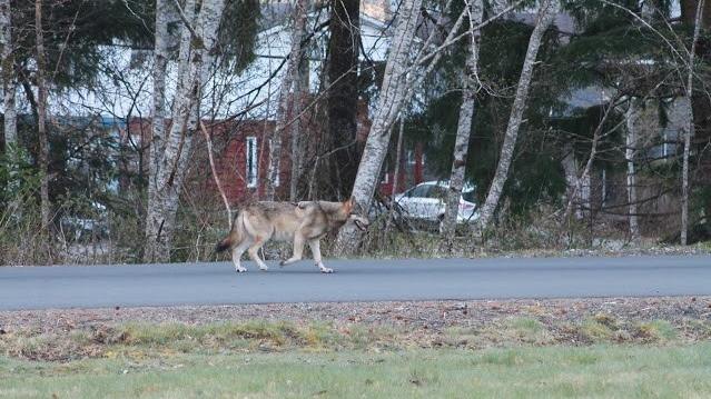 A Tahsis, B.C. resident captured this photo of a wolf on a community street in recent days. (End of the Road Adventures)