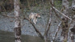 A wolf in Tahsis, B.C., where at least two pet dogs were hunted and killed by wolves in recent weeks. (End of the Road Adventures)
