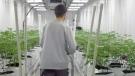 Cannabis cultivation in Regina