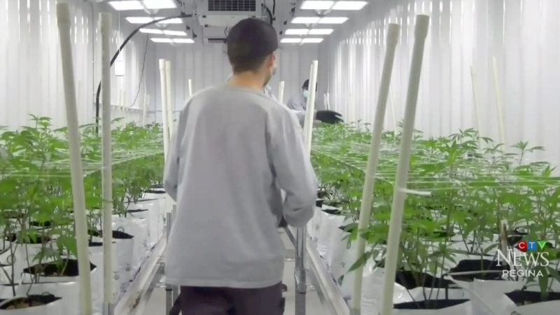 Cannabis cultivation in Regina