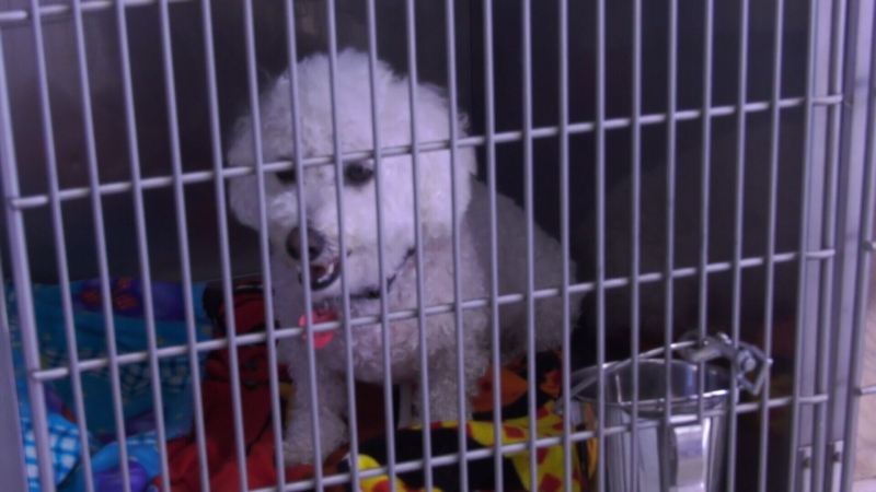 More dogs in the Montreal area have been diagnosed with kennel cough. While most cases are benign, it can become serious