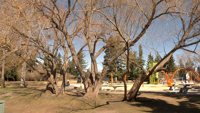 Some of the 80-year-old willow trees that surround a children's play park in the southwest community of Currie