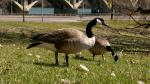 Geese are pictured in Saskatoon on April 21, 2021. (Dan Shingoose, CTV Saskatoon)
