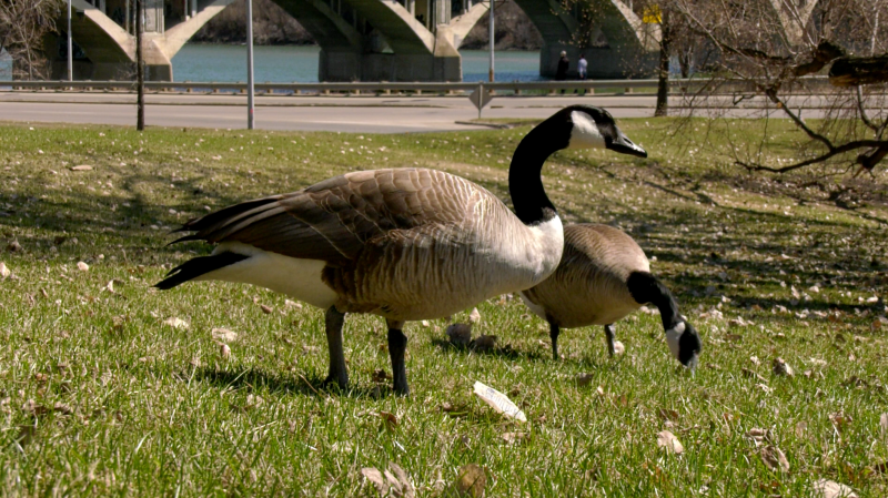 Geese are pictured in Saskatoon on April 21, 2021. (Dan Shingoose, CTV Saskatoon)