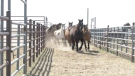 Breeding mares being moved to a pen.