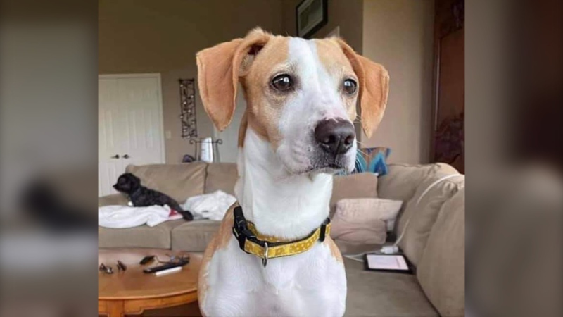 Kevin, a family dog pictured here that went missing in Brandon, Man., turned up days later in an Ontario town more than 2,400 kilometres away from home. (Submitted: Lori Denis)