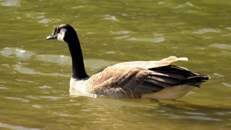 How to live with Saskatoon's geese