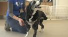 3-legged dog up for adoption