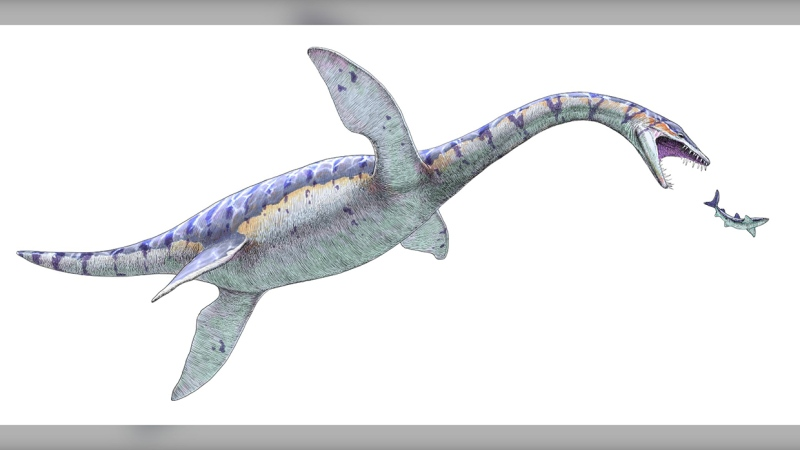 Based on the material uncovered at the site, researchers said it was likely this Plesiosaur was an adolescent. It appears to be about seven meters long, half of that being the neck.