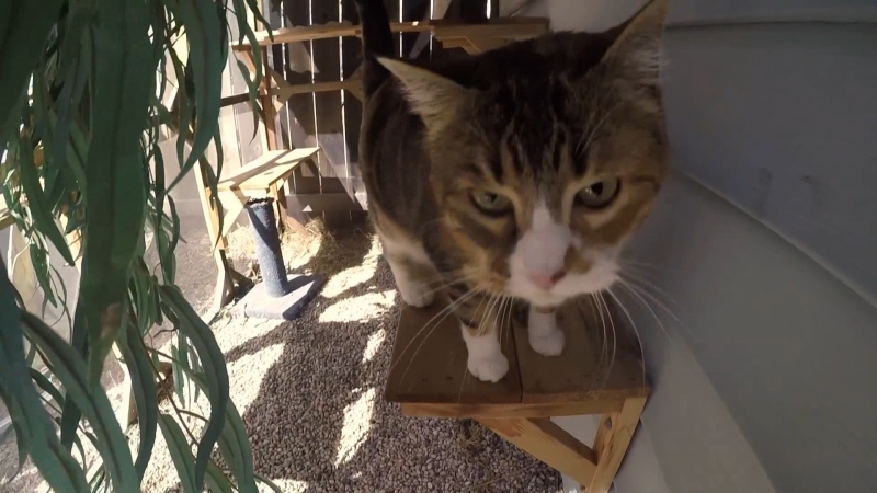 Marissa Lajeunesse, also known as The Winnipeg Cat Carpenter, builds 'catios' – patios for cats. (Source: Jamie Dowsett/ CTV News Winnipeg)