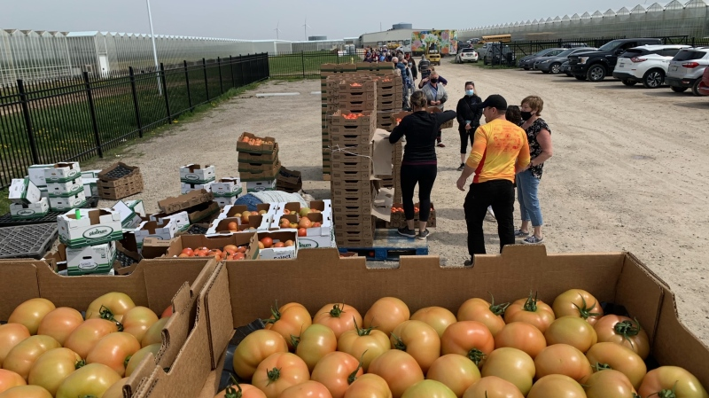 Community members flocked to a tomato sale to stock up on tomatoes before they go to waste at a greenhouse near Blenheim, Ont. on Tuesday, April 27, 2021. (Chris Campbell/CTV Windsor)
