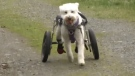 Adam finds out how a Nanaimo dog is overcoming adversity thanks to his caring humans, a pack of pooches, and a new set of wheels.