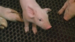 Swine flu variants discovered in Manitoba