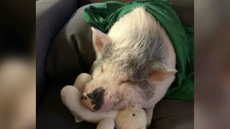 Guelph pig taking internet by storm