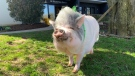 Frankie the five-year-old American potbelly pig lives with his family in a Guelph apartment. (Jessica Smith/CTV Kitchener) (May 1, 2021)