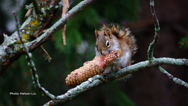 Red squirrel enjoying a pine cone. (Nelson Liu/CTV Viewer)