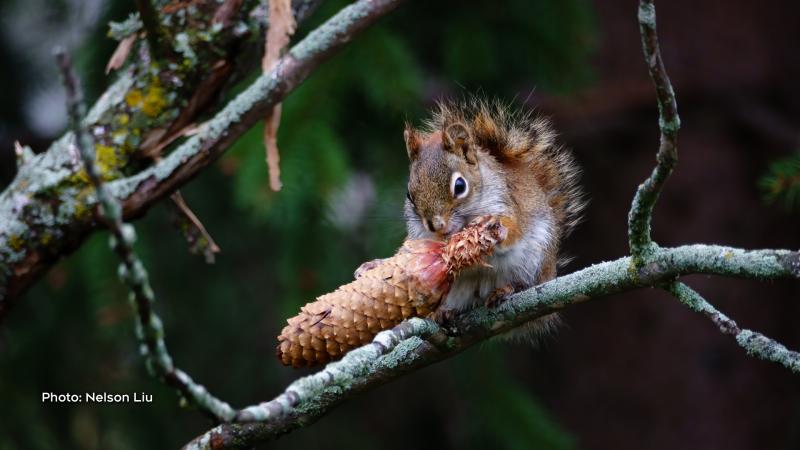 Red squirrel enjoying a pine cone. (Nelson Liu/CTV Viewer)